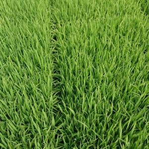 今年の米作り終了です