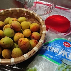 梅の収穫と「梅シロップ」作り
