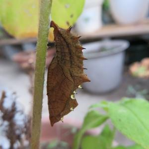 ツマグロさんの幼虫