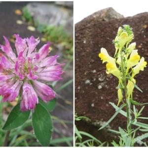 鍋平の野花と茸