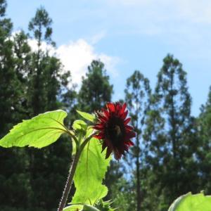 赤い向日葵・・・