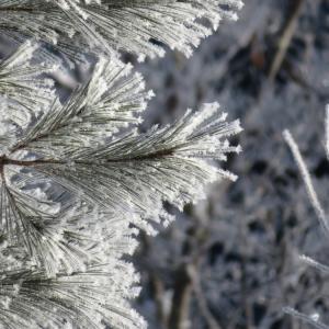 霧氷?樹霜?