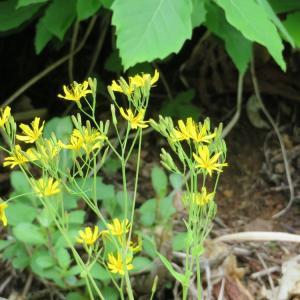黄色い野花・・・1