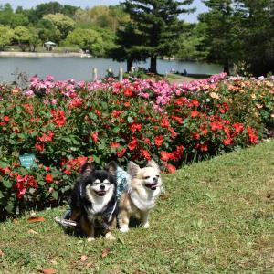 蜻蛉池公園で春バラを見ました2020(大阪府岸和田市)