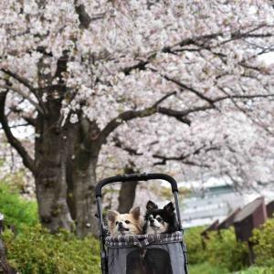 南天満公園の水辺の桜回廊(大阪市北区)