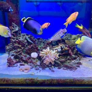 アデヤッコとキヘリヤッコの新珊瑚水槽は安定