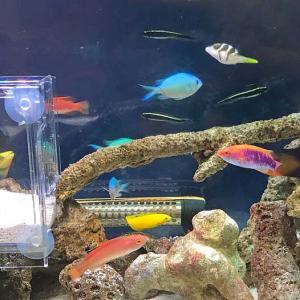 暑さと闘う玄関水槽の新魚