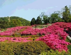 真っ赤なツツジの絨毯・小室山公園