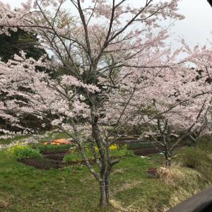 桜満開、春爛漫(〃ω〃)