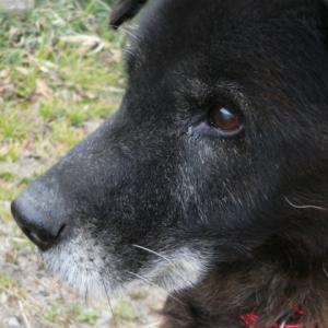 老犬の栄養管理はどうすべき?   犬の栄養学