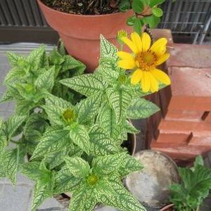 ヘリオプシス咲きました。