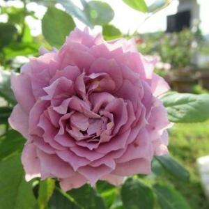 ノヴァーリス初開花