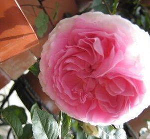 ピンク系のバラ
