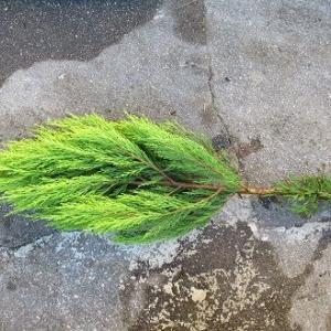 クリスマスの寄せ植え作りました。