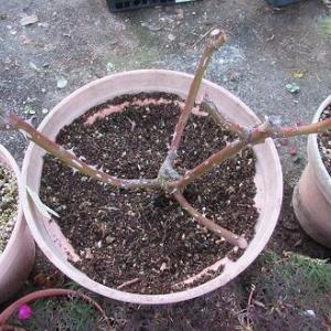 鉢バラの剪定