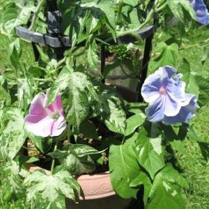 朝顔3株植えの花色