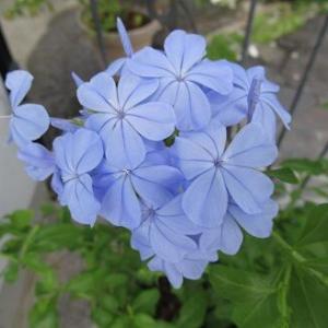 涼し気な花