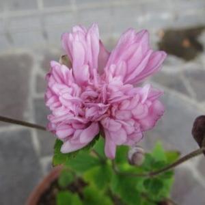 八重咲きシュウメイギクなど