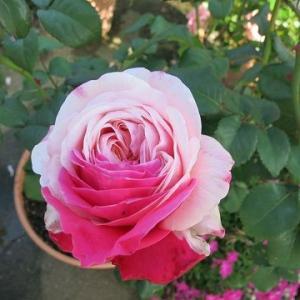 昨年5月のバラ、たまきなど