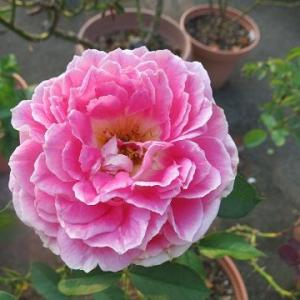 暑さに負けずに咲いている鉢バラ