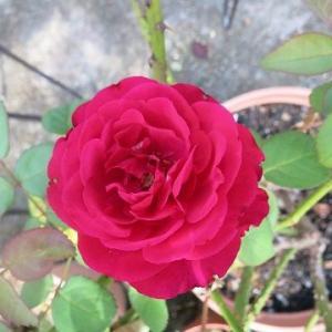 今朝のバラと、紀州高野弘法蘭