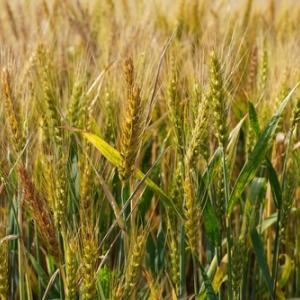 収穫期も近づいていますね小麦さん