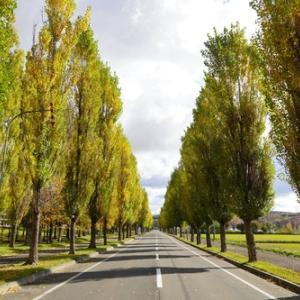 岩見沢市某所のポプラの並木