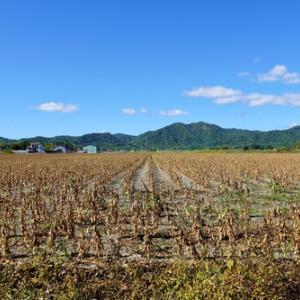 収穫間近かしら? 大豆畑。