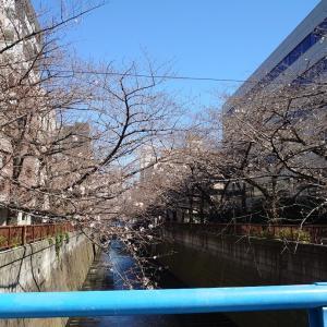 昨日の桜は