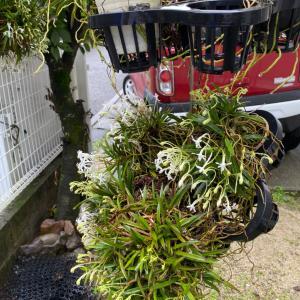 7月2日のブログ。家の風蘭が咲き始めました。夕方良い香りがします。