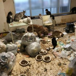 緊急!!SOS 10歳の猫多頭飼育崩壊(メインクーンノルウェージャンMIX)14匹