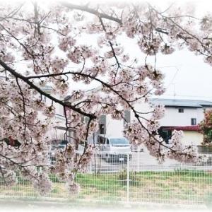桜前線が東北の街を通過中☆