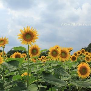 上三川(かみのかわ)のひまわり畑