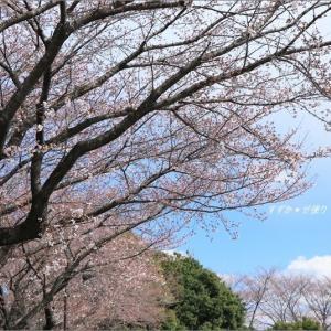 満開が楽しみ、鹿沼の桜