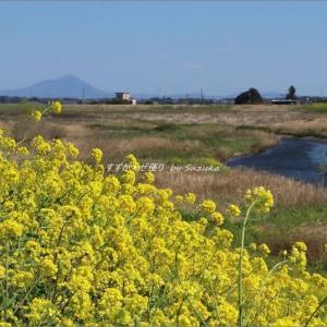 巴波川(うずまがわ)の菜の花