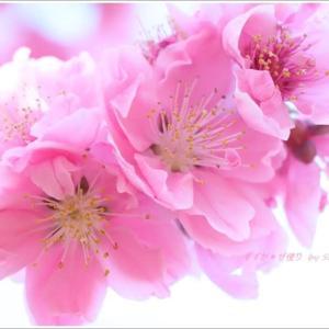 花桃おとめさま。