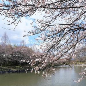 桜美景、みっけ! ~'桜まつり'・プロローグ