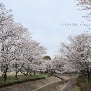 公園の桜川