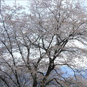 山桜の道 ~'山桜の里'にて・3