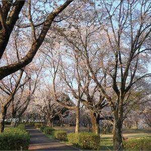 700本の桜に埋まる「磯部桜川公園」 ~'山桜の里'にて・6