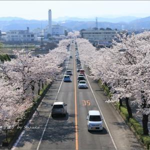 ある絶景・見下ろす桜並木