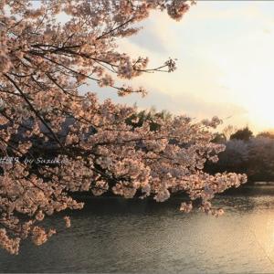 桜、夕陽に輝いて・Ⅰ