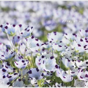 ホワイト&パープルブルー ~もう一つのネモフィラ畑