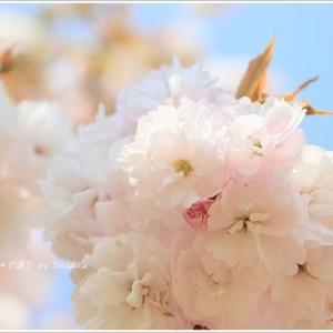 '桜まつり'最終日は八重桜。