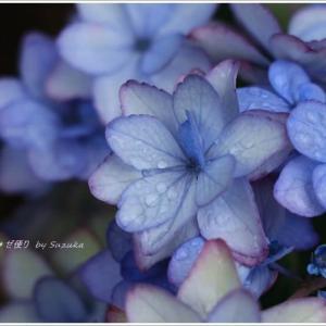 おうちフォト・紫陽花