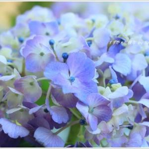 紫陽花コレクション ~野木神社にて