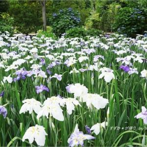 青と白が涼やか・「あしかがフラワーパーク」の花菖蒲