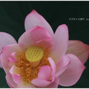 麗しき蓮花