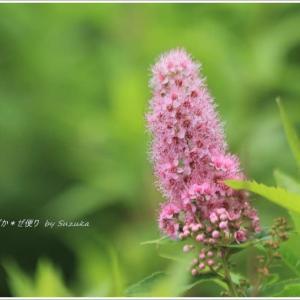 奥日光の夏の花・ホザキシモツケ