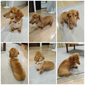愛犬wanのトリミングしました(*^_^*)